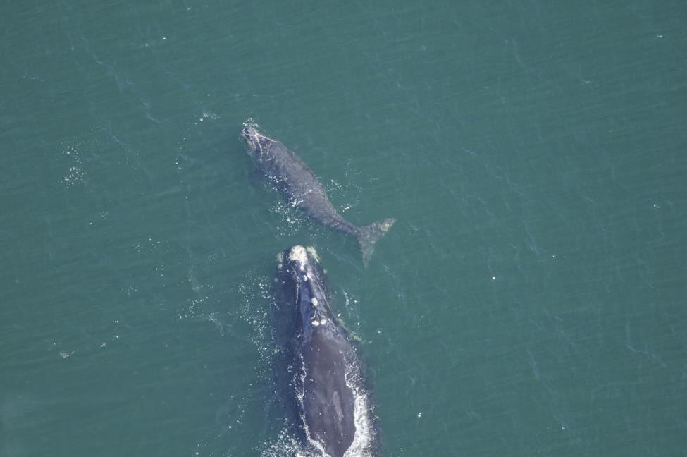 north atlantic right whale #1303 swims with her calf, #3960, off the coast of florida