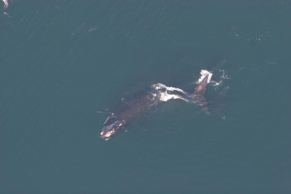north atlantic right whale #2310 playing with another right whale off the coast of south carolina