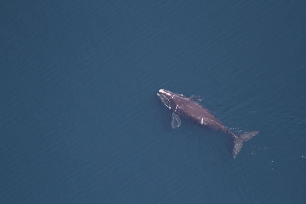 north atlantic right whale #4146 swimming in Cape Cod Bay when she was just a little over a year old. propeller scars can be seen on her left side.