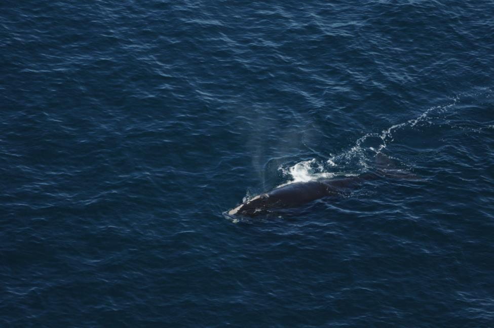 north atlantic right whale #4091 swims off the coast of southern new england in 2015