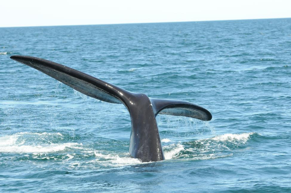 north atlantic right whale #3245 dives in the Bay of Fundy in 2016, displaying his flukes that are in excellent condition