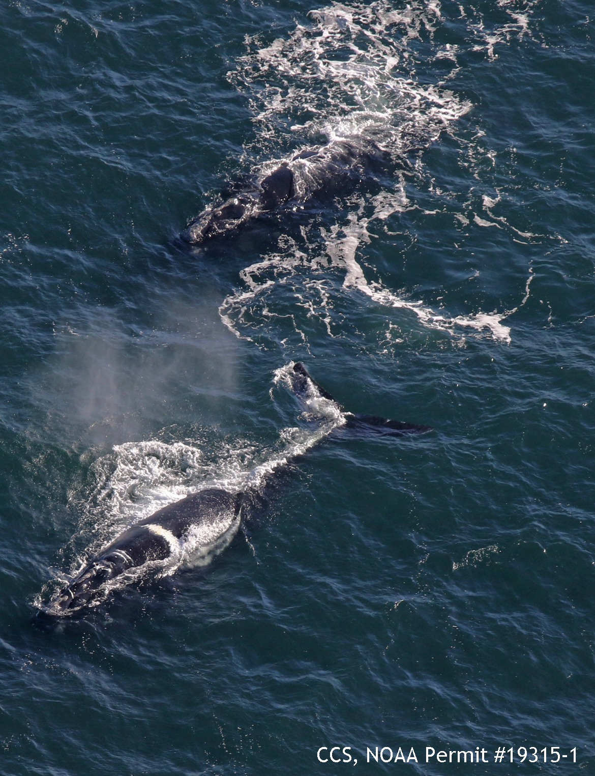 north atlantic right whale #2910 swims with ruffian (#3530) in cape cod bay on december 19th, 2018