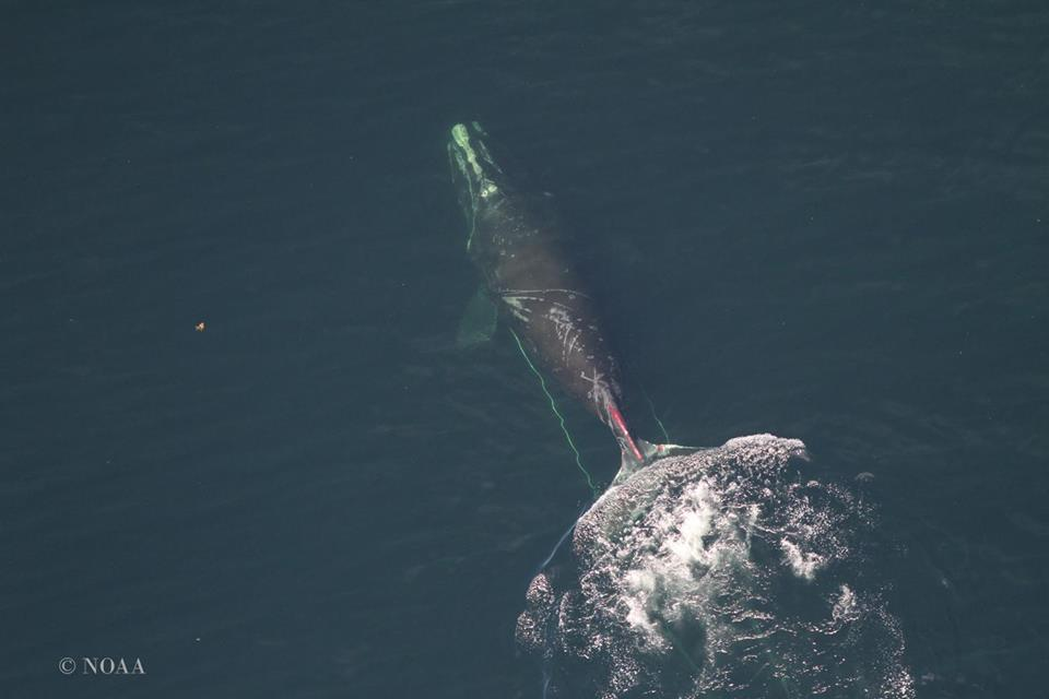 North Atlantic right whale #3312 near Miscou Island in the Gulf of St. Lawrence with fresh wounds caused by an entanglement in fishing gear
