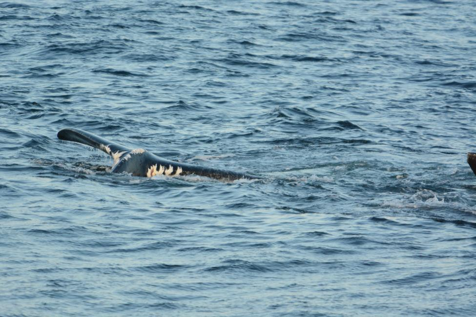 north atlantic right whale #3245 in the gulf of saint lawrence in 2018, with severe damage from an entanglement in fishing rope