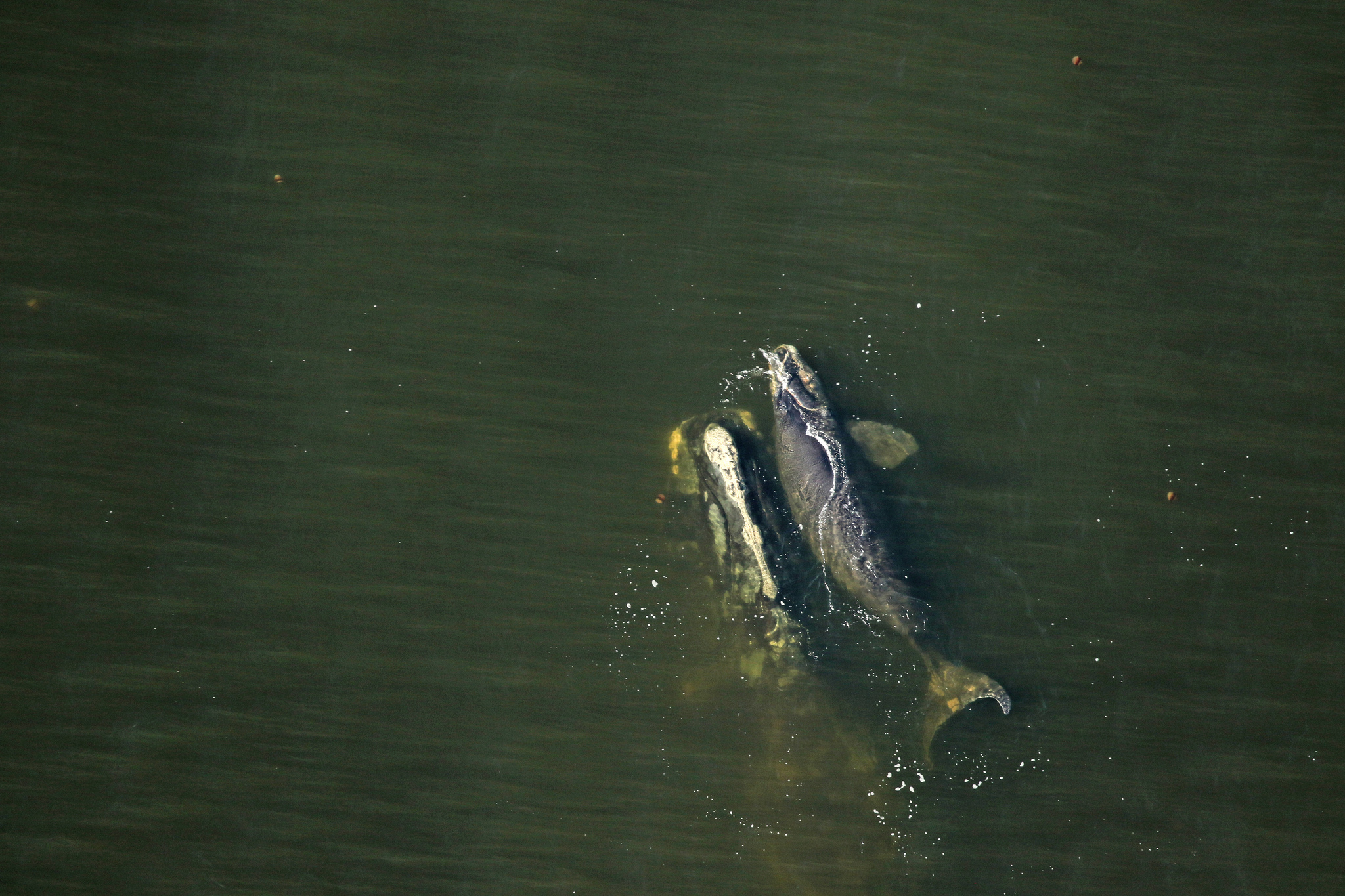 north atlantic right whale number 1204 swims with her calf near amelia island off the coast of florida