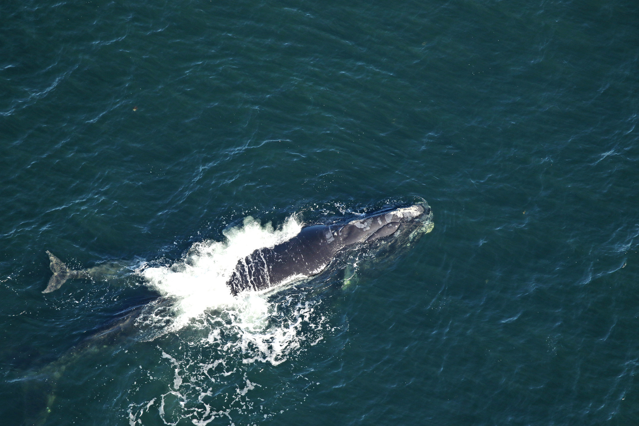north atlantic right whale number 2503, known as boomerang, swims with her calf off the coast of georgia on january 25, 2019