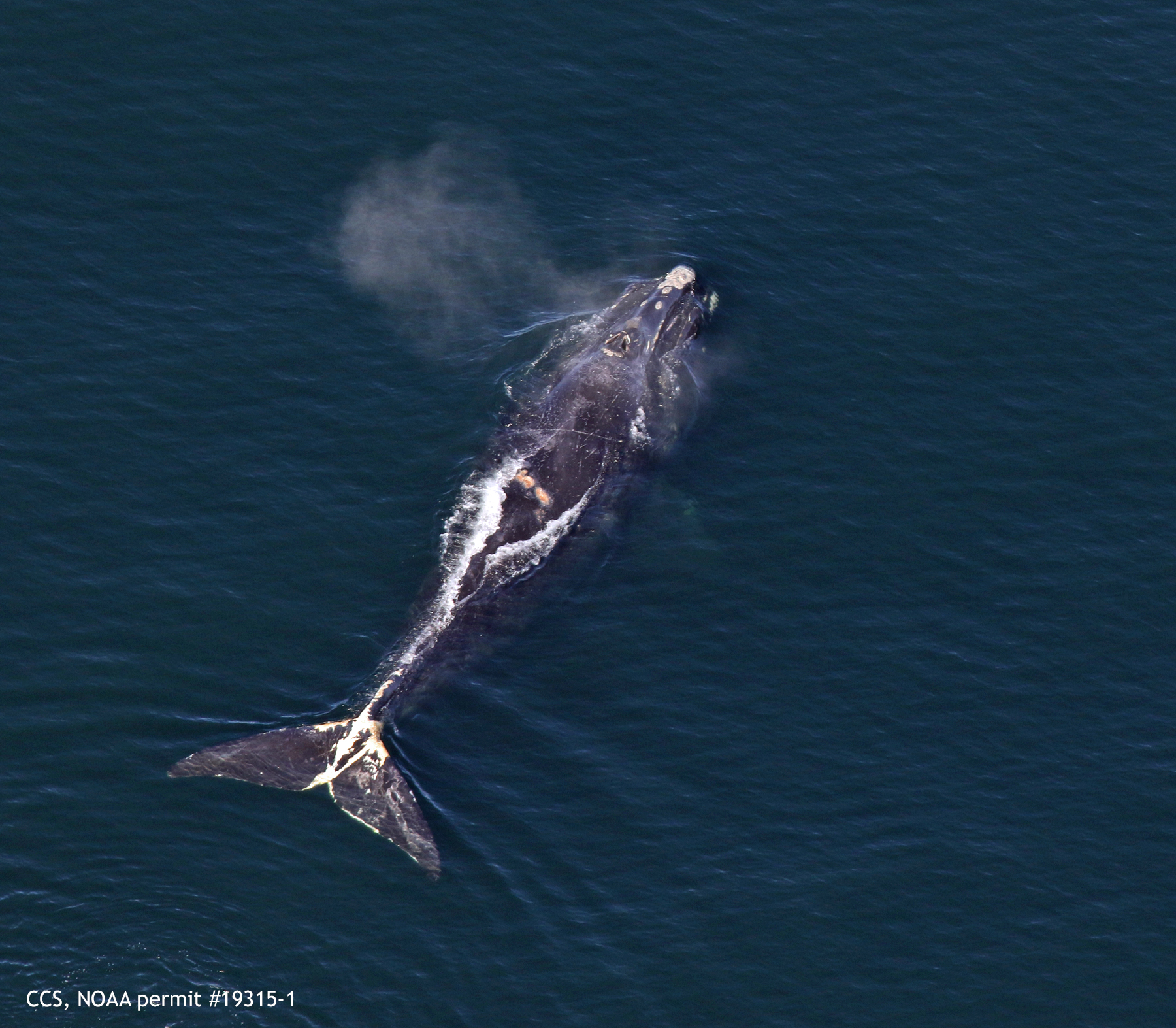 north atlantic right whale nantucket (#1971) swims in cape cod bay on march 1st 2019