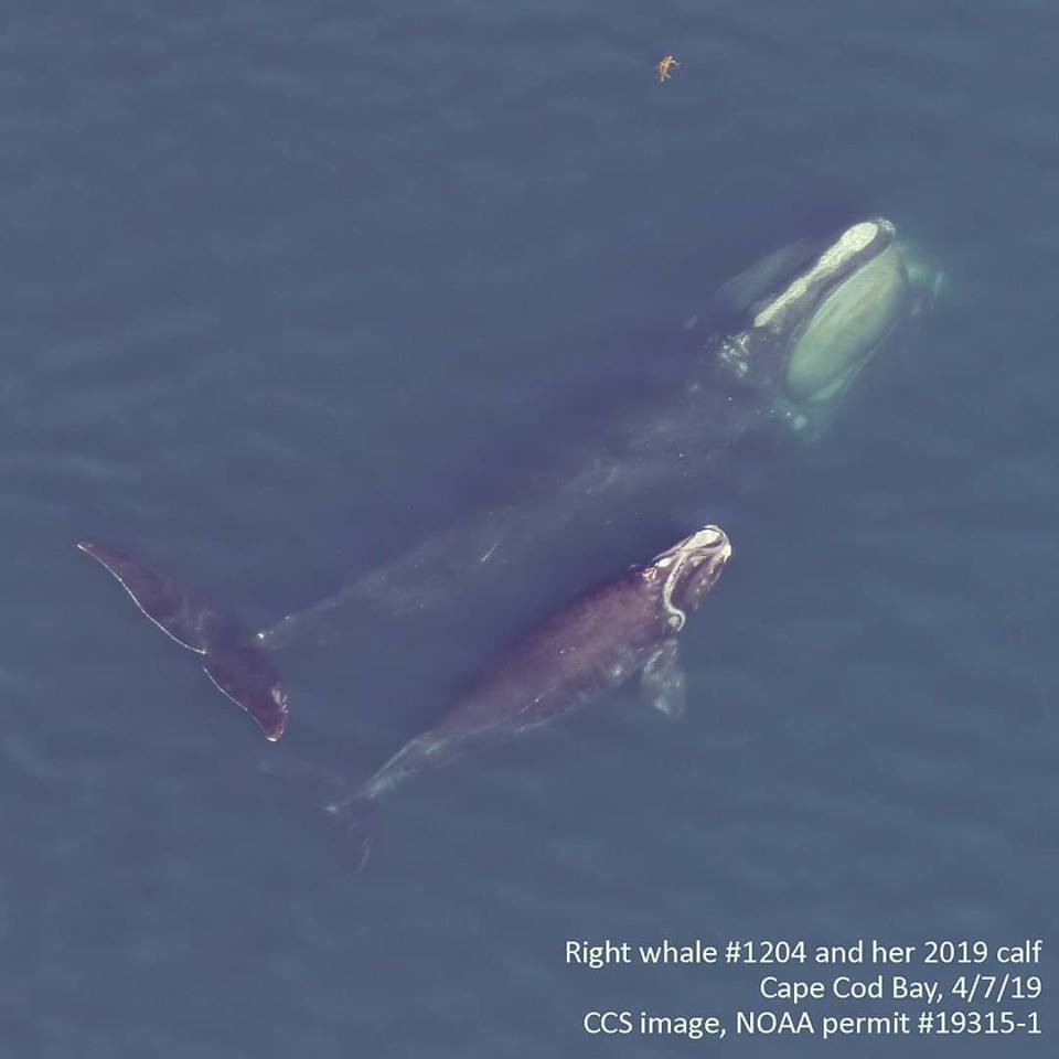 north atlantic right whale #1204 swims with her calf in cape cod bay on april 7, 2019