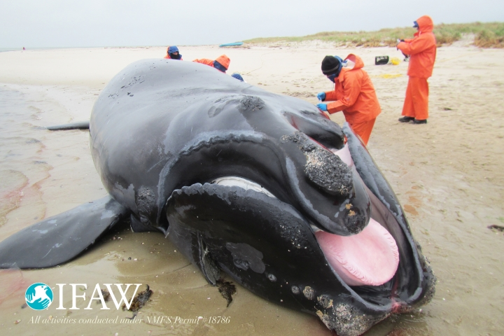 Punctuation's 8th calf after being towed to shore