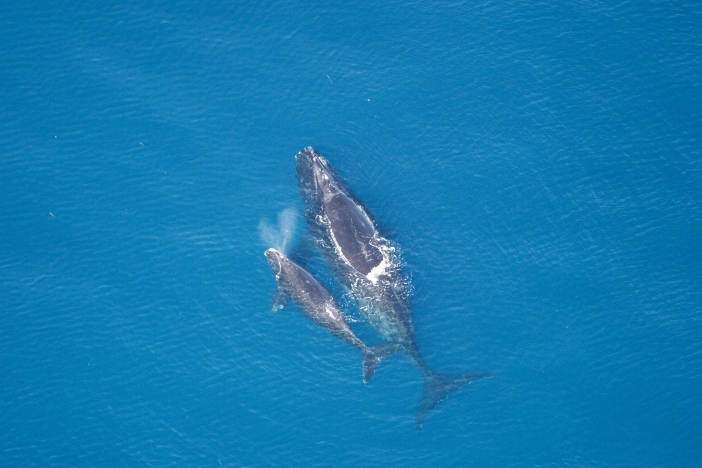 Image of North Atlantic right whale and calf
